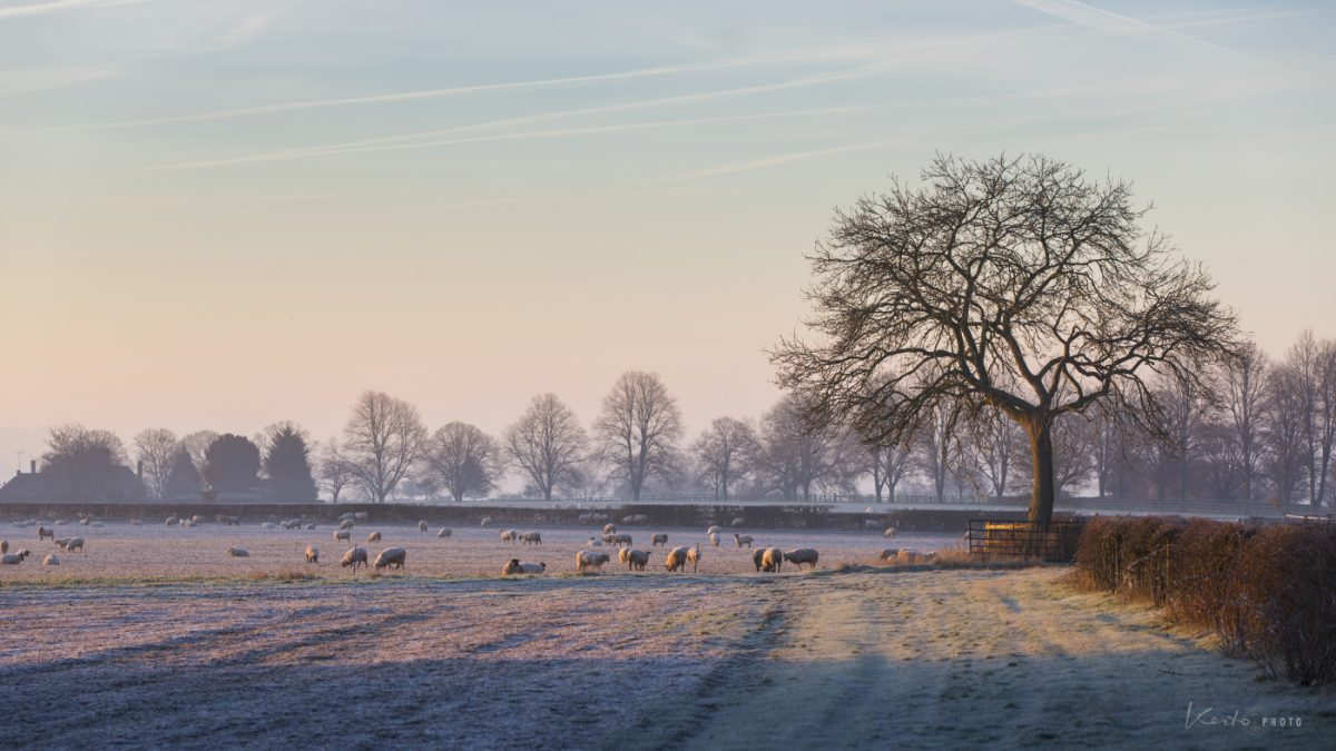 Sheep in frosty field