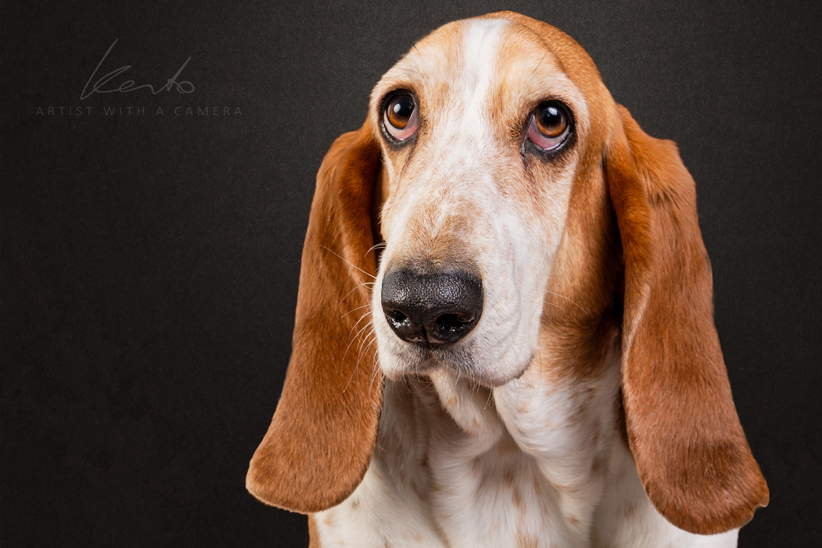 Kerto Studio Basset hound