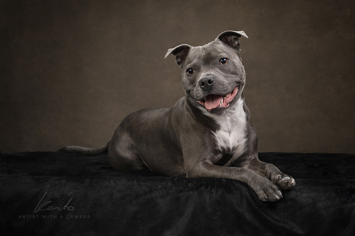 Staffy pet portrait by Kerto Studio